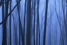 Foggy Blue Trees