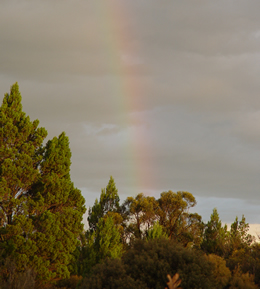 Rainbow over pines